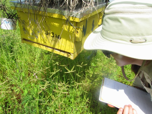 Carley examining the bees in Wabongo's hive 8